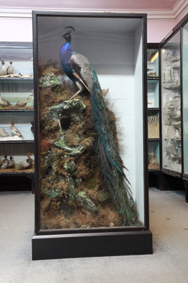 A peacock showcase in the tolson gallery bird room
